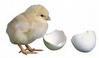 tetas telur ayam Mesin Penetas Telur Otomatis Kapasitas 500 Telur (EM 500AT)