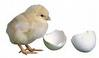 tetas telur ayam Mesin Penetas Telur Manual 200 Telur (EM 200)